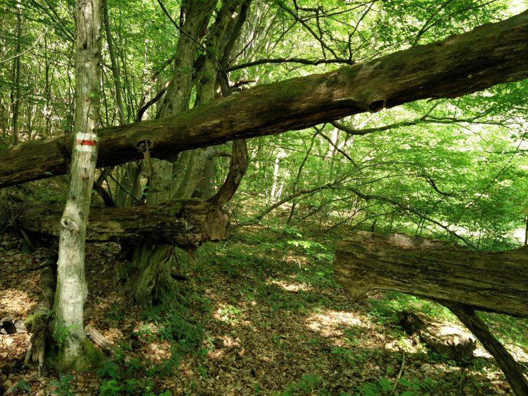 Régi kidőlt fa keresztezi az ösvényt